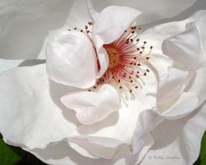 rose-alba